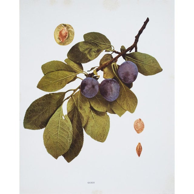1900s Original Fruits of New York Photogravures by U. P. Hedrick - Set of 4 For Sale - Image 4 of 7