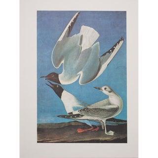 1960s Cottage Style Lithograph of a Bonaparte's Gull by John James Audubon