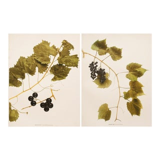 Grapes of New York Antique Photogravures - Set of 2