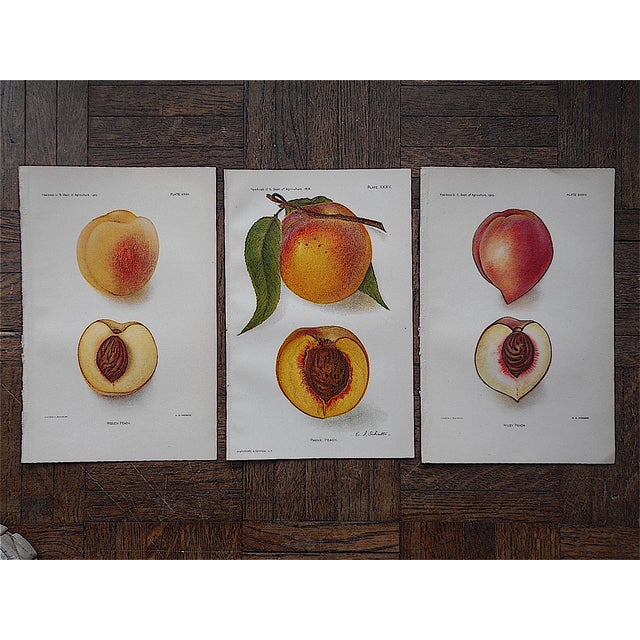 1900's Antique Peach Lithographs - Set of 3 - Image 3 of 3