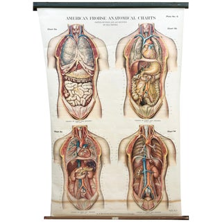 1918 American Frohse-Nystrom Chest/Abdomen Pull Down Anatomical Chart For Sale