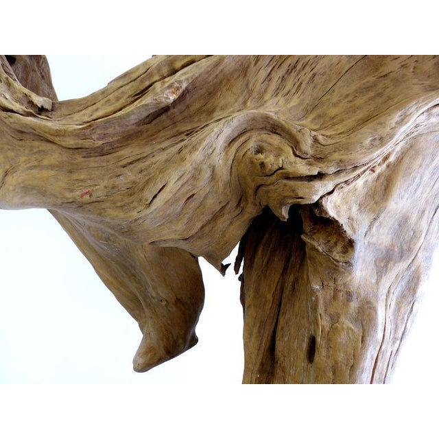 """""""Kangaroo"""" a Petrified Wood Sculpture from the Amazon by Artist Valeria Totti For Sale In Miami - Image 6 of 11"""