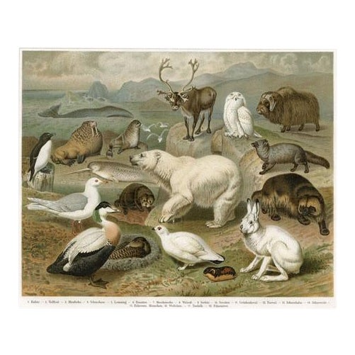 Arctic Animal Print, 1890s Lithograph For Sale