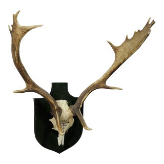 Black Forest Fallow Deer Trophy From Salem - Germany, Weissenhaus 1954 For Sale