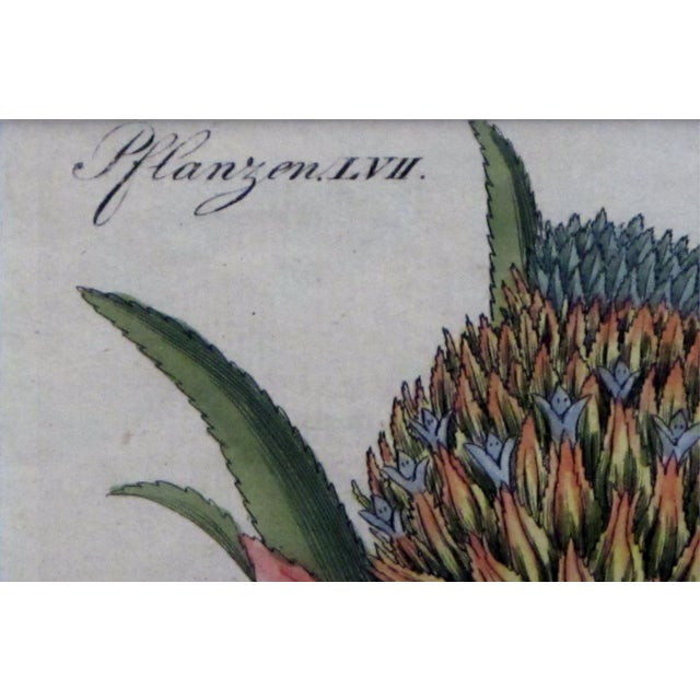 The meticulously detailed engraving depicting a pineapple specie as a flowering bud and in its mature state; with original...