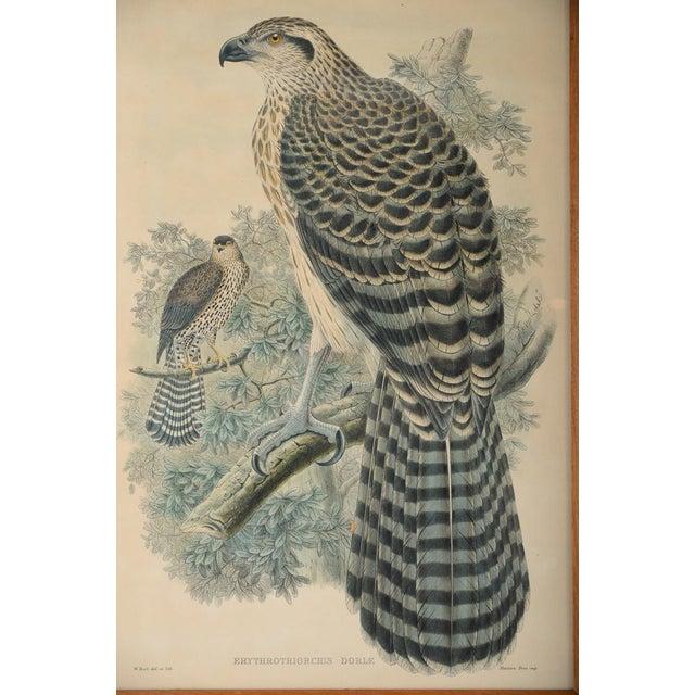 "John Gould ""Erythrotriorchis Dorlae"" Bird Lithograph - Image 3 of 7"