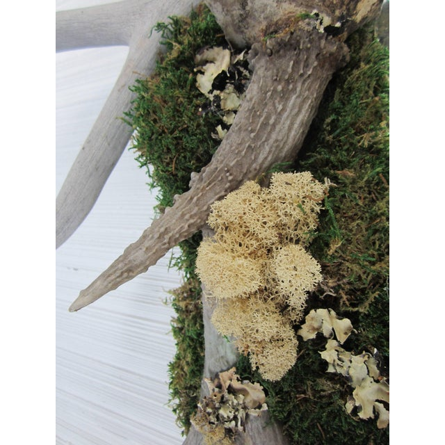 Mid 20th Century Antler and Preserved Moss Mirror For Sale - Image 5 of 7