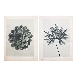 Blossfeldt Double Sided Photogravure N27-28