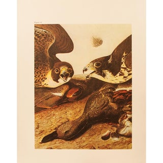1960s Cottage Lithograph of Gadwall by Audubon For Sale
