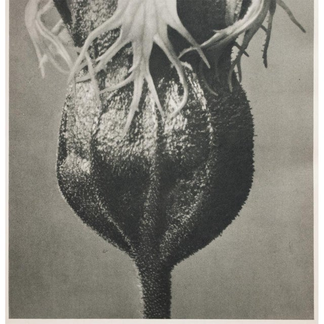 Blossfeldt Double Sided Photogravure - Image 8 of 11