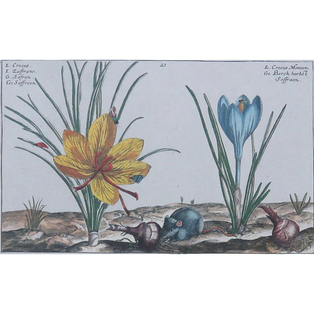Very fine frame encompassing a botanical print, under glass, by Crispin Van de Passe. The print is of the Crocus and its...
