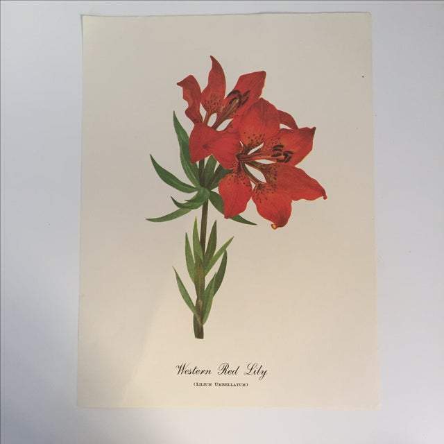 Western Red Lily Botanical Print - Image 2 of 4