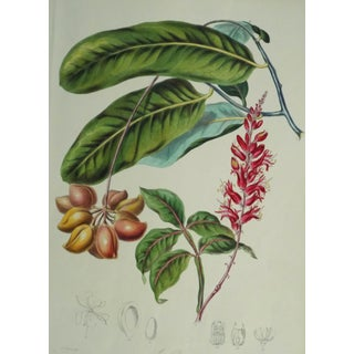 1849 Antique Twinning Botanical Simarubacea (Quassia Tribe) Print For Sale