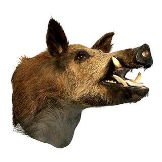 Wild Boar Shoulder Mount Trophy For Sale