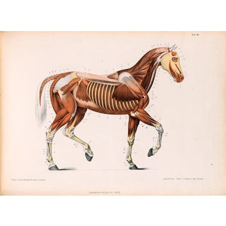 Anatomy of the Horse - Print of Illustration, 1800s For Sale