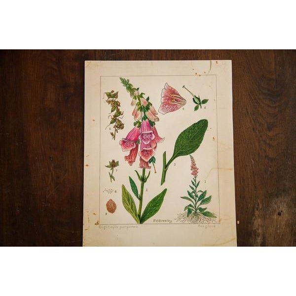 Cottage R.H. Greeley Foxglove Botanical Watercolor For Sale - Image 3 of 5