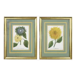 Hand Colored Botanical Engravings of Sunflowers - A Pair For Sale