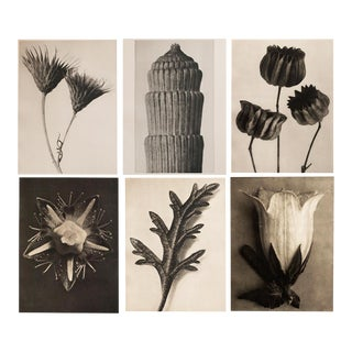 1928 Karl Blossfeldt Photogravures - Set of 6
