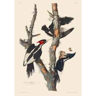 John James Audubon Print, Ivory-Billed Woodpecker For Sale