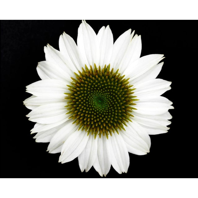 This is a Macro Botanical Photograph of a White Flower against black. It is printed on Archival Fine Art Paper.