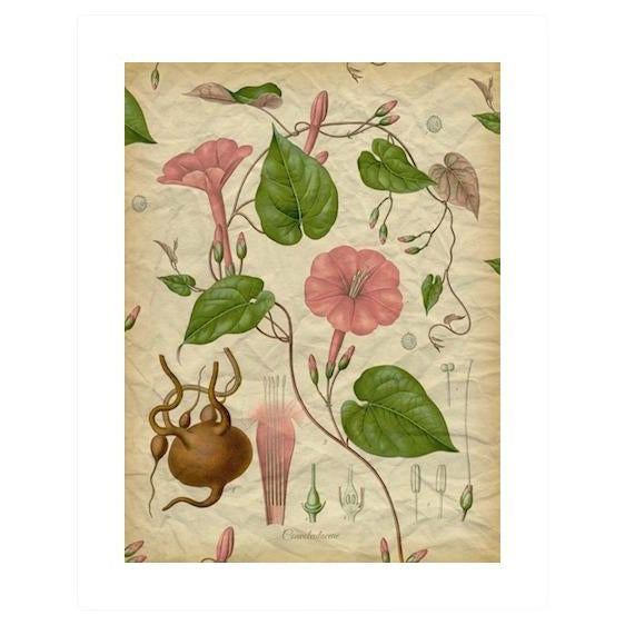 Archival 'Pink Morning Glory' Antique Print - Image 1 of 3
