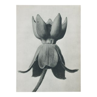 1935 Karl Blossfeldt Two-Sided Photogravure