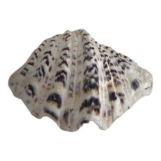 Natural Bear Paw Clam Shell For Sale