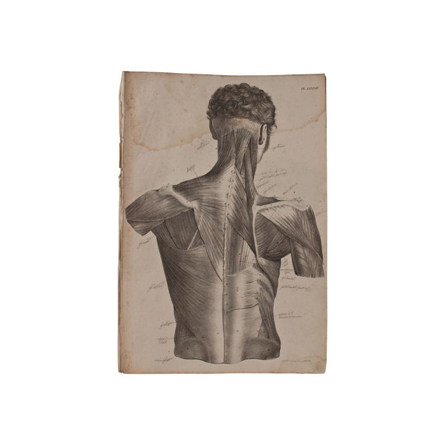 19th Century Musculature Prints - Set of 3 - Image 3 of 4
