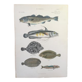 19th Century Museum of Natural History Fish Engraving