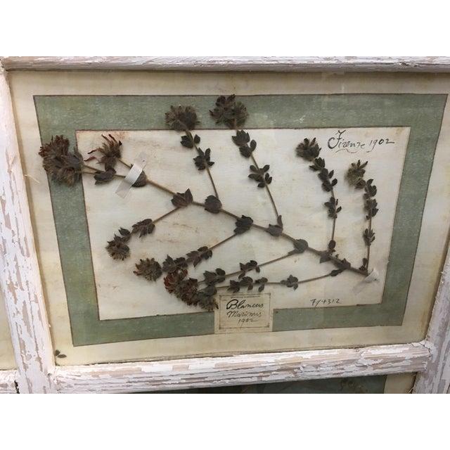 1900 - 1909 Vintage Italian Framed Botanical Herbarium Wall Hanging For Sale - Image 5 of 12