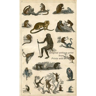 Monkeys, 1847 Lithograph For Sale