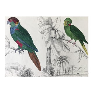 19th Century Traditional Engraving/Print of Parakeets by Oliver Goldsmith