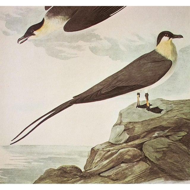 John James Audubon Long-Tailed Jaeger by John J. Audubon, Vintage Cottage Print For Sale - Image 4 of 8