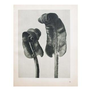 Karl Blossfeldt Photogravure N33-34,1935
