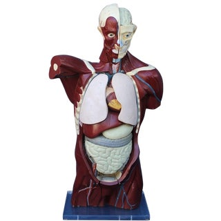 Mid-Century Anatomical Model For Sale
