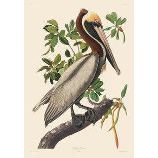 John James Audubon Print, Brown Pelican II For Sale