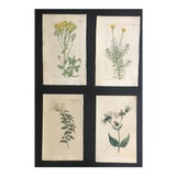 Image of 19th Century Botanical Engravings by William Curtis - Set of 4 For Sale
