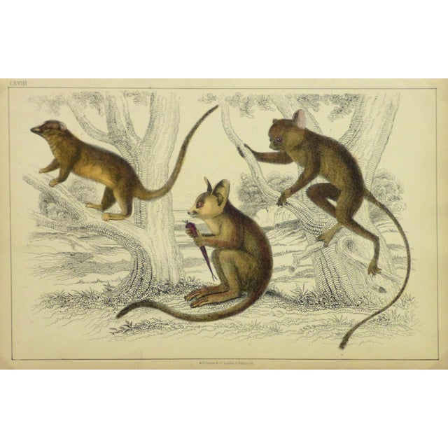 Vintage Monkey Print Engraving, 1853 - Image 1 of 4