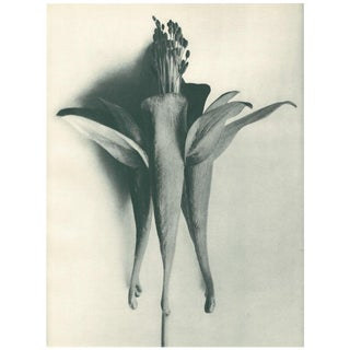 1928 Original Photogravure N95 of Golden-Flowered Columbine by Karl Blossfeldt For Sale