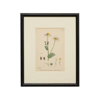 Botanical of Scentless Mayweed Ii, England 19th Century For Sale