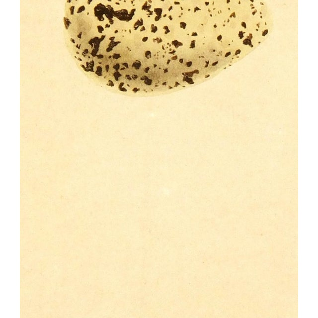 Antique stone lithograph of an egg by Rev. F. Morris from 1859. Displayed on a white mat with a gold border fits a...