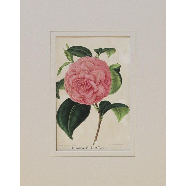 Verschaffelt 1854 Alberto Camellia Print For Sale