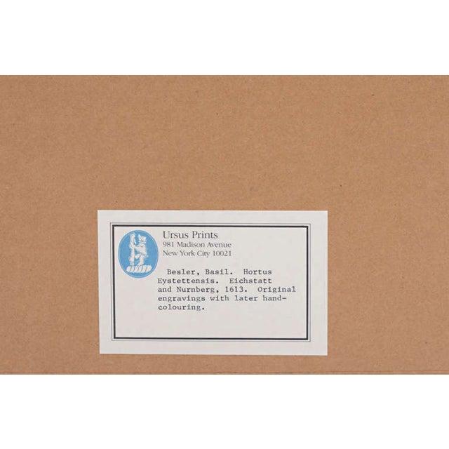 "Basilius Besler ""Pomaamoris Fructu Rubro"" Botanical Print For Sale - Image 4 of 7"