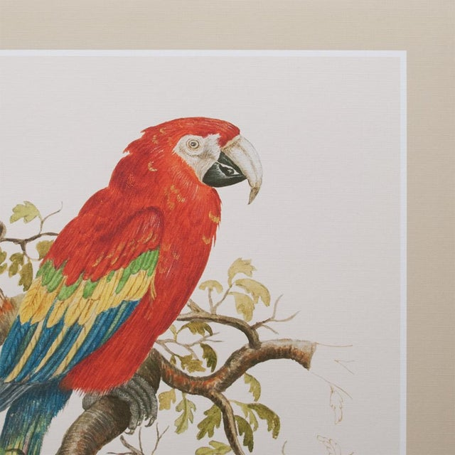1590s Large Print of Scarlet Macaw by Anselmus De Boodt For Sale - Image 4 of 8