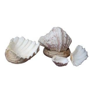 Natural Cockle Seashells - Set of 4