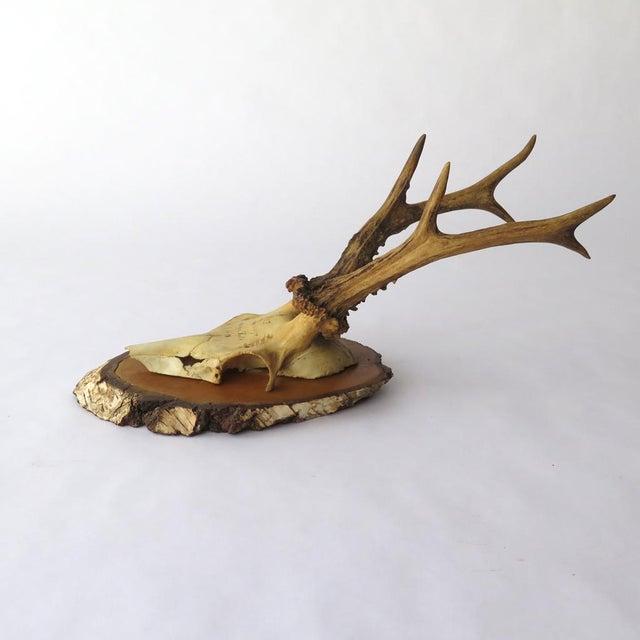 Vintage Roe Deer on Birch, 1937 - Image 5 of 7