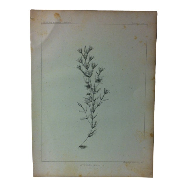 "Antique Botany Lithograph Print on Paper ""Erythraea Tricantha"" 1853 For Sale"