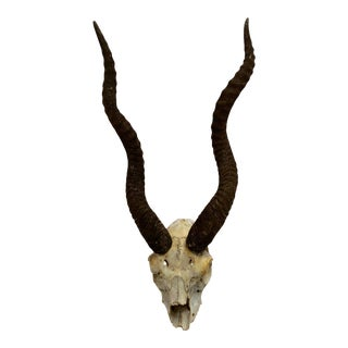 1950s Natural Antelope Antlers With Partial Skull For Sale