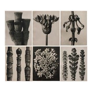 1928 Karl Blossfeldt Photogravures - Set of 6
