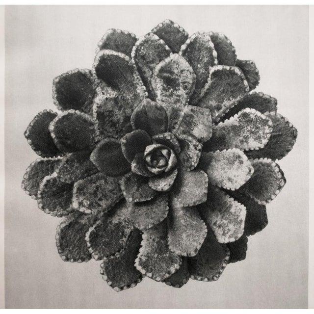 Karl Blossfeldt Double Sided Photogravure N27-28 - Image 3 of 8